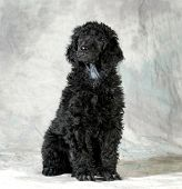 image of standard poodle  - standard poodle puppy sitting on green background  - JPG