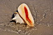 Horned Helmet Snail