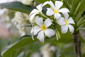 foto of champa  - Beautiful white flower in thailand Lan thom flower - JPG
