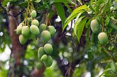 Green Mangoes On A Tree