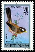 Vintage  Postage Stamp. Garrulax Canorus.