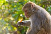 image of omnivores  - Macaque monkey eating an orange in Kathmandu - JPG