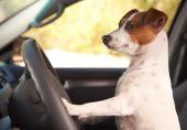 Jack Russell Terrier Enjoying A Car Ride