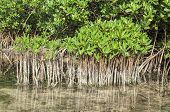 Young And Mature Mangroves