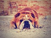 a bulldog in an alley with brick walls done with a vintage retro instagram filter