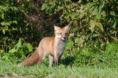 Juvenile Male Red Fox