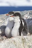 Gentoo Penguin Two Chicks Sitting In Nest In Anticipation Of Parents