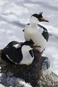 Male And Female Blue-eyed Antarctic Cormorant Sitting In A  Nest On The Rock