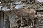 Female Siberian Mountain Goat Standing On Rocks Artificial Hills