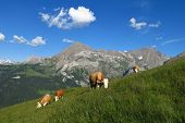 Grazing Cows And Spitzhorn