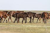 Herd Of Horses Wandering On A Hot Day Of Spring Steppe