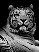 Tiger In Black And White