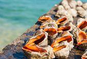 Seashell Rapan On A Sea Background