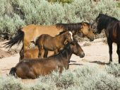 foto of open grazing area  - free roaming mustangs in the Pryor Mountain wild horse range in Wyoming - JPG