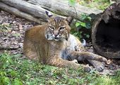 pic of bobcat  - Bobcat (Lynx rufus) resting in the grass