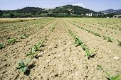 pic of tobaco leaf  - Plantation of young tobacco plants. Summer time ** Note: Shallow depth of field - JPG