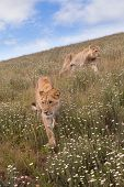 Lioness walking in the grass