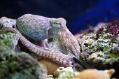 stock photo of atlantic ocean  - A common octopus Octopus vulgaris is resting on a reef - JPG