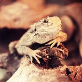 bearded dragon in terrarium