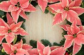 Pink poinsettia flower background border with christmas greenery over light oak.