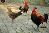 Free-range Rooster and Hen on Footpath