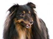 picture of sheltie  - Beautiful Sheltie dog breed on a white background - JPG