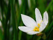 White Flower Zephyrantes Candida