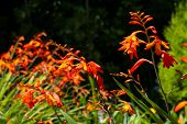 picture of crocosmia  - Orange red and yellow crocosmia  - JPG