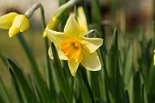 picture of jonquils  - Details of a group of spring flowers - JPG