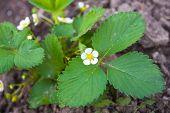 White Flowers Of Strawberries
