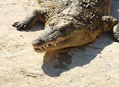 foto of crocodile  - Crocodiles  - JPG