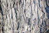 Maple tree bark closeup