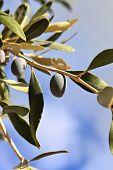 pic of kalamata olives  - Beautiful black olive on an olive tree - JPG