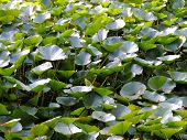 Thickets of lotus (Nelumbo)