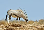 stock photo of southern  - Female Gemsbok Antelope in the Kgalagadi Transfrontier Park Southern Africa - JPG