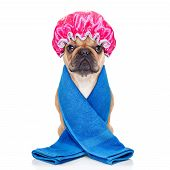 stock photo of bathing  - french bulldog dog ready to have a bath or a shower wearing a bathing cap and towel isolated on white background - JPG
