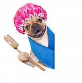 image of beside  - french bulldog dog having a spa or wellness treatment with shower cap beside a white blank banner or placard isolated on white background - JPG