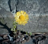 Coltsfoot Growing Among Stones.