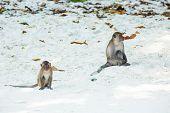 Monkey Beach. Group Of Crab-eating Macaques And Banana At  Phi-phi, Thailand