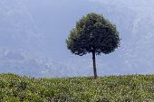 foto of darjeeling  - Tree - JPG