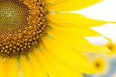 pic of sunflower  - Panoramic view of a field with sunflowers - JPG