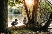 Two Ducks Nearby A Lake