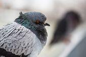image of pigeon  - City pigeon face macro shot - JPG
