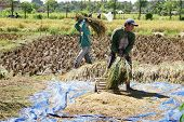 Workers In Paddy Field