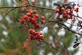 image of mountain-ash  - mountain ash branch with a bunch of red juicy berries against the wood - JPG