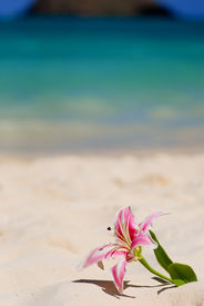 picture of sand lilies  - Stargazer Lily in sand at beach - JPG