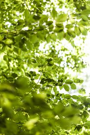 stock photo of canopy  - Sun shining through the green leaves of the canopy of a tall deciduous tree outdoors in woodland in a nature eco and environmental concept - JPG