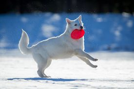 picture of frisbee  - White dog playing on snow with frisbee in his mouth - JPG