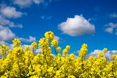 stock photo of rape-seed  - Rape seed field set against the blue cloudy sky. Low position of view looking upwards.