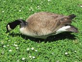 picture of canada goose  - Photograph of a Canada goose in a park - JPG